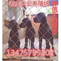 辽宁鞍山哪里有卖纯种活体马犬价格长期招宠