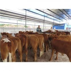 郑州小牛犊多少钱一头呢
