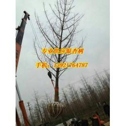 邳州银杏树价格|银杏树价格|宏松苗木(查看)