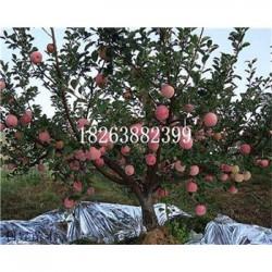 金秋嫁接苹果苗几年有产量