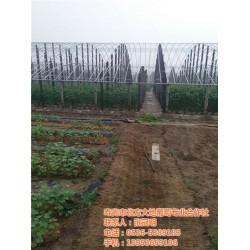 巨玫瑰葡萄苗价格、北方大地葡萄、乌海葡萄
