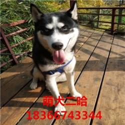 绥化杜高猎犬出售大骨架阿拉斯加幼犬