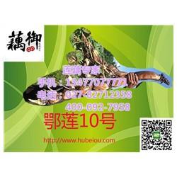 鄂莲9号价格|鄂莲9号|汉川藕御莲藕种植场