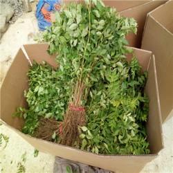 大量供应花椒苗基地  花椒苗低价批发  花椒
