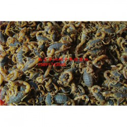 重庆蜈蚣养殖养蝎子养蝎殖技术视频蝎子养殖