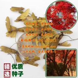 火棘种子、快活林苗木、火棘种子哪儿有卖