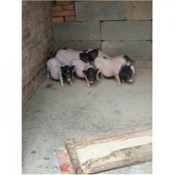 藏香猪养殖场黑龙江市周边哪里有巴马香猪苗
