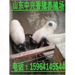 岳阳巴马香猪养殖场黄冈巴马香猪养殖场