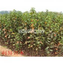 喜水梨树种苗多少钱一棵优质梨树苗批发