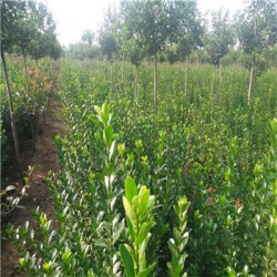 大叶黄杨哪里有  优质大叶黄杨价格 量大优