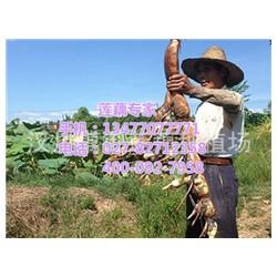 小霸王,小霸王莲藕,汉川藕御莲藕种植场