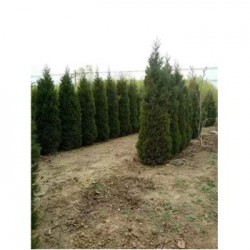 园林批发工程用绿化蜀桧树苗 2.5-3米蜀桧树