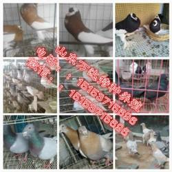 北辰公斤元宝鸽哪里有养殖场