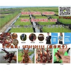 温州青红小龙虾苗价格淡水龙虾苗养殖条件