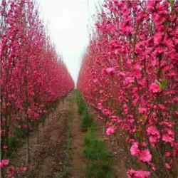 常年供应优质龙柱碧桃树 好成活好管理 优质