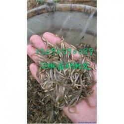 池州贵池泥鳅苗养殖全国送货保价收购